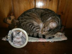Lacey Jane Mozart w/picture of Purry Como who died at age 10 Months of FIP