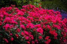 Monrovia's Knock Out® Shrub Rose details and information. Learn more about Monrovia plants and best practices for best possible plant performance. Knockout Rose Tree, Double Knockout Roses, Rose Diseases, Drift Roses, Rose Garden Design, Monrovia Plants, Shrub Roses, Plant Catalogs, Plants