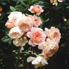Peach David Austen Roses, my favorite flower when I was a florist, only saw them once. Absolutely lovely.