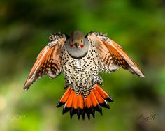 Red-shafted northern flicker [1500x1200]