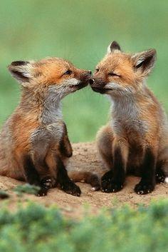 no description, animal mammal wild animal red fox cub love baby uploaded by HALEX on imgfave Animals Kissing, Cute Baby Animals, Animals And Pets, Funny Animals, Wild Animals, Animal Babies, Smart Animals, Animals Images, Forest Animals