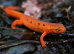 red spotted newt salamander