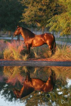 Pretty horse with golden reflection on the water.