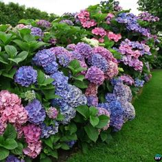 How to Change #Hydrangeas Into Pink Blue #Tips #Gardening