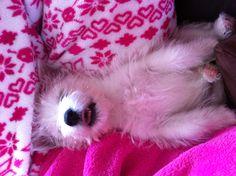 Fergus my 8 week old West Highland Terrier. Life is hard!!