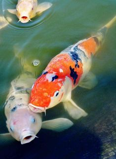 """Koi fish are the domesticated variety of common carp. Actually, the word """"koi"""" comes from the Japanese word that means """"carp"""". Outdoor koi ponds are relaxing. Coi Fish, Koi Fish Pond, Fish Ponds, Fish Fish, Grouper Fish, Carpe Coi, Koi Painting, Koi Art, Koi Fish Tattoo"""