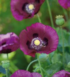 Papaver somniferum 'Dark Plum' has petals in a plum purple, excellent on it's own or in a mix of colours. Comes true from self-sown seed.