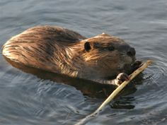 Beaver - one of my favourite animals! <3