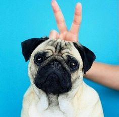20 Best Funny Animal Photos for Tuesday Night. Serving only the best funny photos in 2019 that will help you laugh today. Baby Animals, Funny Animals, Cute Animals, Cute Pugs, Cute Puppies, Llamas Animal, Funny Animal Photos, Animals Photos, Sweet Dogs