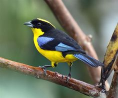The Blue-winged Mountain Tanager is native to South America, where it is found in Bolivia, Colombia, Ecuador, Peru, and Venezuela.