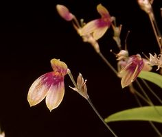Miniature-orchid / Micro-orquidea: Flower-detail of Pleurothallis brighamii