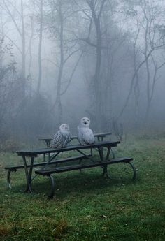 Owls in mist. via: crescentmoon06 - Imgend
