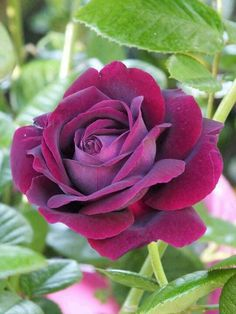 Love Purple Roses. This is a Parisian Rose. <3