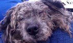 Gray: Sweet Senior Ready for his Furever Home! – Central NJ – AmsterDog Rescue