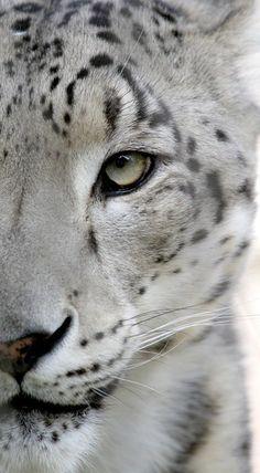 white leopard?
