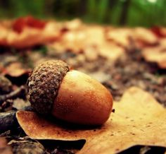 """blossomingjoy:    i love acorns.  i love that they are such a symbol of something incredible coming from a tiny seed. that the acorn has to fall to the ground and die in order to become an oak tree.  like elisabeth eliott says, """"look to the acorn and trust me, says the lord."""""""