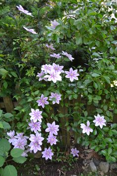 Nelly Moser - my favorite clematis