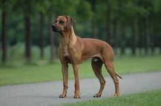 The Rhodesian ridgeback is a dog breed developed in Rhodesia. Its European forebears can be traced to the early pioneers of the Cape Colony of southern Africa, who crossed their dogs with the semi-domesticated, ridged hunting dogs of the Khoikhoi. Large Dog Breeds, Large Dogs, Pet Dogs, Dogs And Puppies, Boxer Puppies, Rhodesian Ridgeback Puppies, Lion Dog, Dog Shedding, Hunting Dogs
