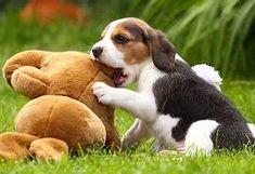 Resultado de imagen para beagle