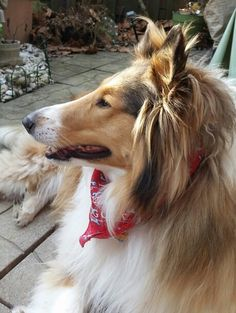 Collie Mix, Rough Collie, Pyrenean Mastiff, The Perfect Dog, Pit Bulls, Sheltie, Four Legged, Chihuahua, Labrador