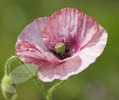Papaver rhoeas 'Mother of Pearl Group'