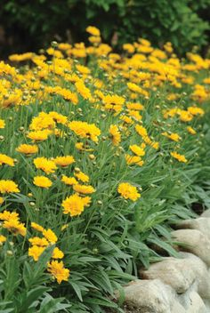Coreopsis Grandiflora 'Early Sunrise', Coreopsis Early Sunrise, Tickseed Early…