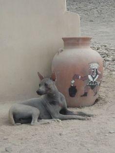 Viringo Peruvian hairless dog...sorta looks like jackal doesn't it?