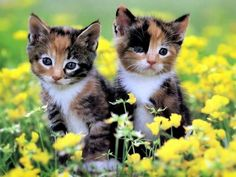 calico kittens with yellow flowers