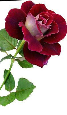 Easy To Grow Houseplants Clean the Air Una Rosa Preciosa Todo Muy Bonito Beautiful Flowers Wallpapers, Beautiful Rose Flowers, Pretty Roses, Exotic Flowers, Amazing Flowers, Pretty Flowers, Red Flowers, Beautiful Gardens, Flower Pictures