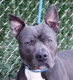 ZEUS - A1100422 - - Manhattan  Please Share:TO BE DESTROYED 12/29/16 **ON PUBLIC LIST** A volunteer writes: Handsome and attractive, a head turner… I could see that walking my friend Zeus around the block, the way people were eying him, in admiration…. He might look at little bit like a tough guy in his silvery suit and with his determined look but he is in fact a great pooch to spend time with. Zeus pulls a little on the leash(nothing that I cannot manage) and