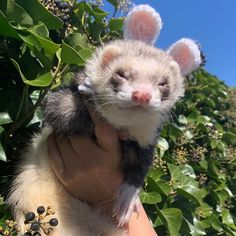 Ferrets Care, Baby Ferrets, Pet Ferret, Cute Ferrets, Cute Baby Animals, Funny Animals, Cute Images, Cute Pictures, Wild Animals Pictures