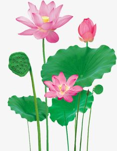 What is Falun Dafa also called Falun Gong and how to learn it? Watercolor Lotus, Lotus Painting, Watercolor Paintings, Koi Fish Drawing, Fish Drawings, Qigong, Lotus Pond, Powerpoint Background Design, Circus Art