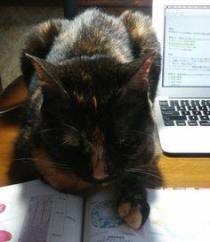 My cat helps me to study and disturbs me at the same time…♡ 勉強(べんきょう)の手伝(てつだ)いと、私(わたし)の邪魔(じゃま)を同時(どうじ)にする、うちの猫(ねこ)。。。♡