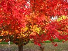 Silver Maple Tree- getting one of these this weekend :)