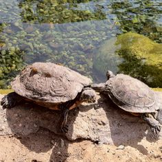 Turtle friends at the pond.