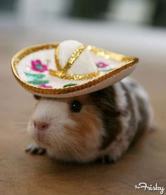 This is a guinea pig not a hamster. Hamster with a sombrero Cute Baby Animals, Funny Animals, Crazy Animals, Funniest Animals, Animals Amazing, Animal Memes, Wild Animals, Farm Animals, Animals Beautiful