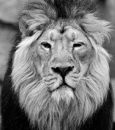 König - Löwe