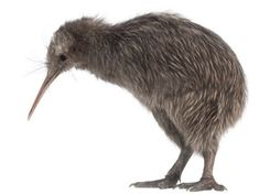 I can't insult kiwis.