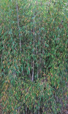 Jiuzhaigou bamboo- grows only ft. About 1 ft a year. Grows best is shade. Clumping Bamboo, Fargesia, Bamboo Screening, Landscape, Plants, Landscaping Ideas, Cold, Scenery