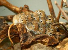 Tons of baby gerbils!!