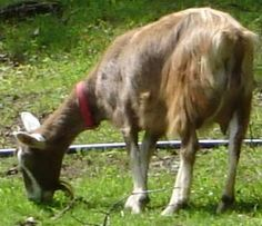 Toggenburg dairy goats - our Genie looked just like this..