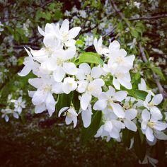 Fleurs de pommiers Plants, Apple Blossoms, Flora, Plant, Planting