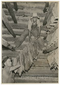 Tobacco Curing Barns | Hanging the tobacco in the tobacco barn for curing, 1939. The men are ...
