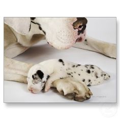 Harlequin Great Dane, want one one day!!