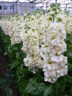 Matthiola Centum Yellow Cream