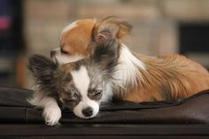 Chihuahua Puppies cuddling sleeping together by TinyHaven on Etsy, $15.00