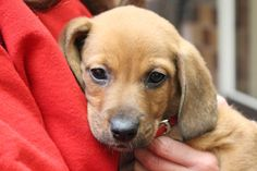 8-12 week old male Hound mix pup from Virginia! #GetYourRescueOn