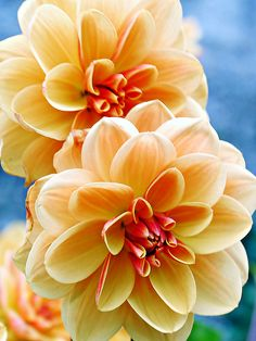 Pale Yellow and Orange Dahlias by tanglemay
