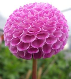 """Pom Pom Dahlia"" - posted by Bob 21, via Pixdaus"