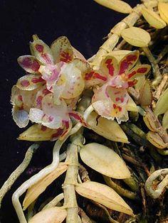 Gastrochilus formosanus